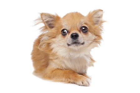 long haired: Brown long haired chihuahua in front of a white background