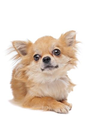 long haired chihuahua: Brown long haired chihuahua in front of a white background