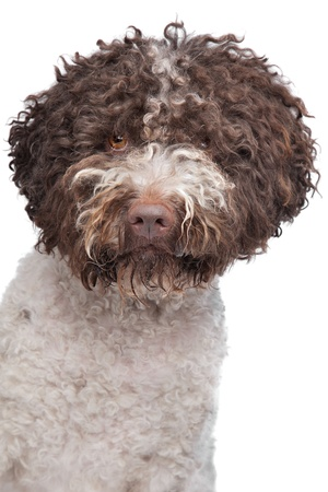 lagotto romagnola dog in front of a white background Stock Photo - 14330572