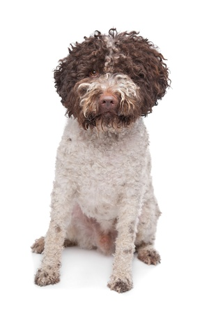 lagotto romagnola dog in front of a white background