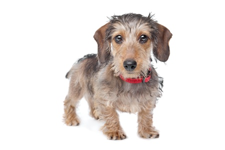 weenie: Wire-haired Dachshund in front of a white background