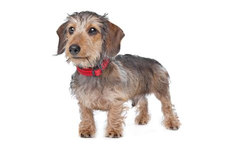 wirehaired: Wire-haired Dachshund in front of a white background
