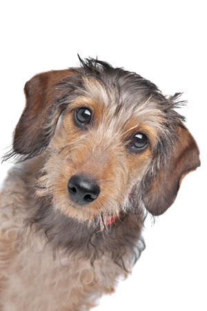 Wire-haired Dachshund in front of a white background photo