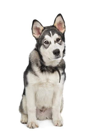 Alaskan Malamute puppy in front of a white background photo