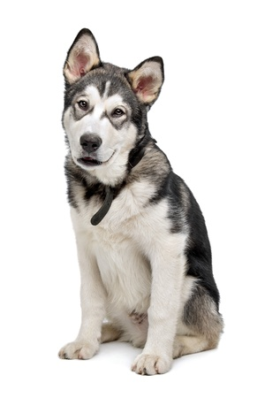 Alaskan Malamute puppy in front of a white background Stock Photo - 14330547