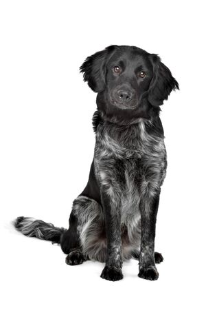 pointer dog: Stabyhoun,Frisian pointing breed, in front of a white background Stock Photo