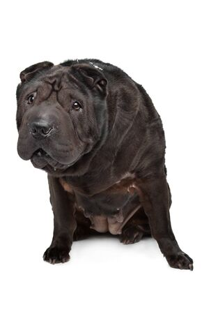 sharpei: Shar-Pei in front of a white background