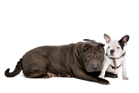 sharpei: Shar-Pei and a French Bulldog puppy in front of a white background Stock Photo
