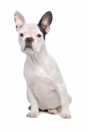 French Bulldog puppy in front of a white background photo