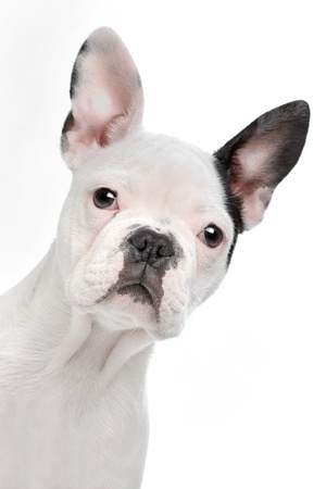 French Bulldog puppy in front of a white background Imagens - 14330535