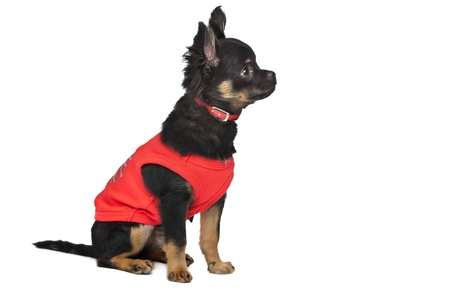 chiwawa: chihuahua with red shirt in front of a white background