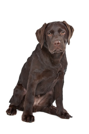 Chocolate Labrador in front of a white background Foto de archivo