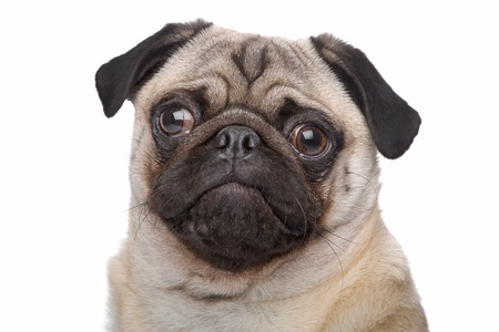 Pug dog in front of a white background photo