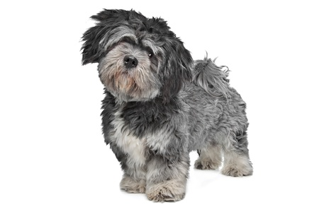 Lhasa Apso standing in front of a white background Stock Photo - 14330533