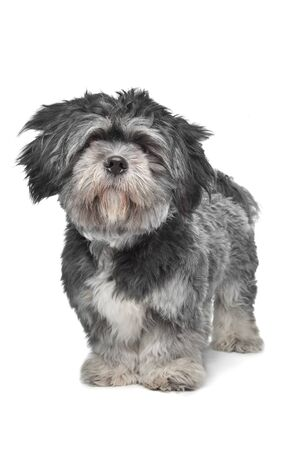 Lhasa Apso standing in front of a white background photo