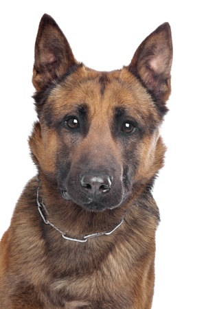 pure bred: Belgian Shepherd in front of a white background