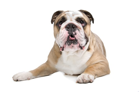 English Bulldog in front of a white background Stock Photo - 14330505