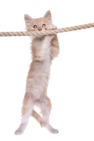 Red Norwegian forest kitten hanging on a rope photo