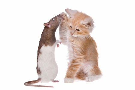 hunter playful: Rat and kitten in front of a white background Stock Photo