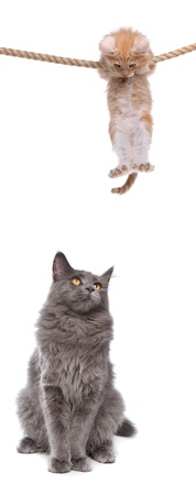 Kitten hanging on rope above cat photo