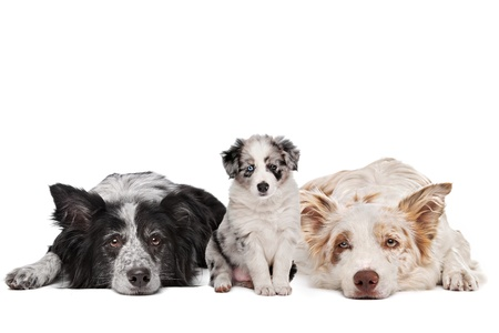 Three border collie dogs in front of a white background Stock Photo