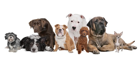 Group of eight dogs sitting in front of a white background photo