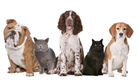 medium shot: Group of cats and dogs in front of white background
