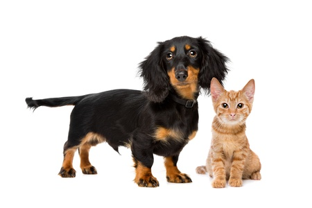dog cat: Puppy and kitten in front of a white background Stock Photo