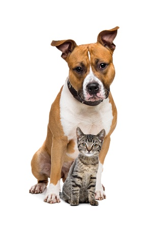 dog sitting: Dog and Kitten in front of a white background