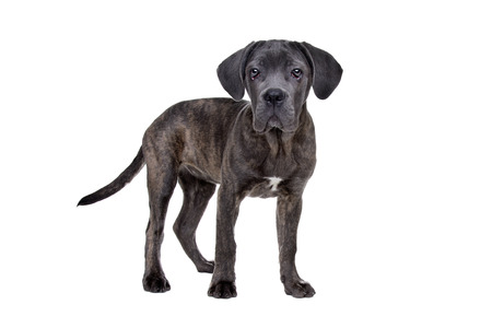 studioshot: grey cane corso puppy dog standing in front of a white background Stock Photo