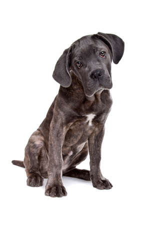 studioshot: grey cane corso puppy dog sitting in front of a white background and looking at camera