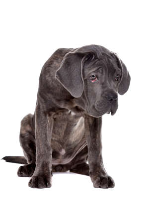 studioshot: grey cane corso puppy dog in sittingfront of a white background and looking down at floor Stock Photo