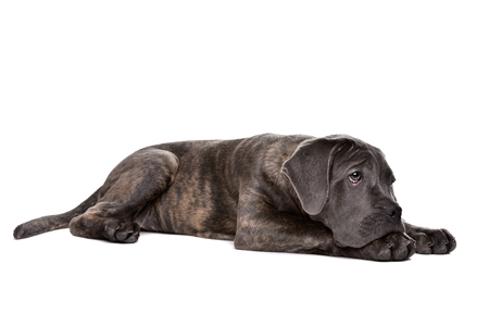studioshot: grey cane corso puppy dog laying in front of a white background Stock Photo