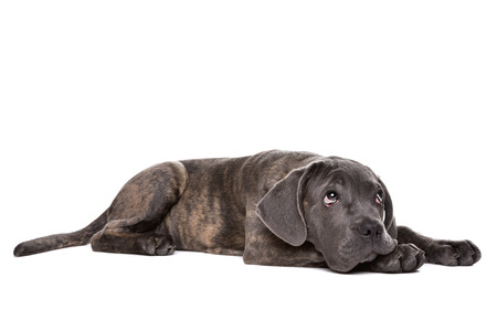 studioshot: grey cane corso puppy dog laying down in front of a white background and looking up