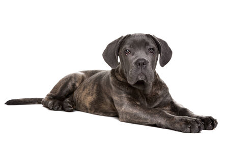 cane corso: grey cane corso puppy dog in front of a white background