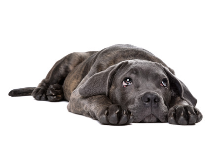 cane corso: grey cane corso puppy dog laying down and looking up in front of a white background Stock Photo