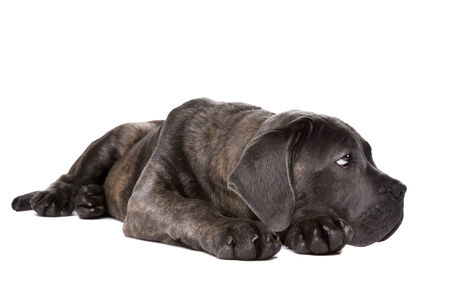 sidewards: grey cane corso puppy dog laying down and looking sidewards in front of a white background