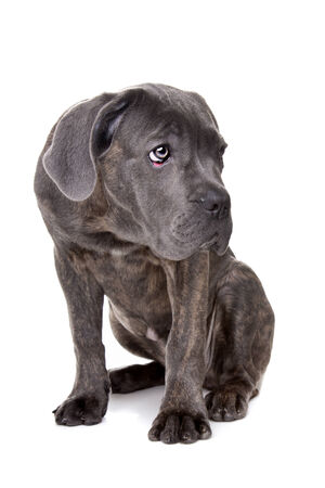 studioshot: grey cane corso puppy dog sitting in front of a white background