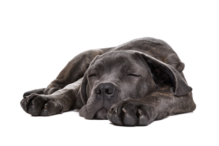 studioshot: sleeping grey cane corso puppy dog inlaying down front of a white background