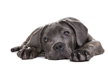studioshot: grey cane corso puppy dog laying in front of a white background and staring at camera