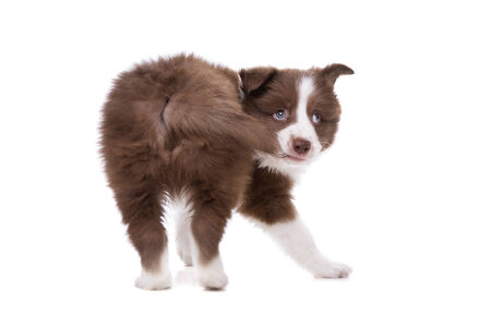 chew over: Border Collie puppy dog biting its own tail in front of a white background Stock Photo
