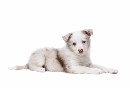 pure breed: Border Collie puppy dog in front of a white background