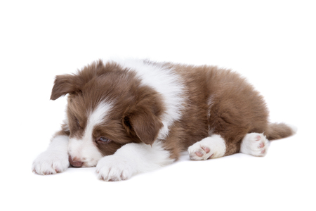 border collie puppy: Border Collie puppy dog in front of a white background