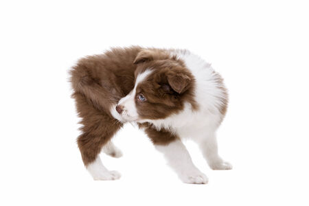 chew over: Border Collie puppy dog in front of a white background biting its own tail