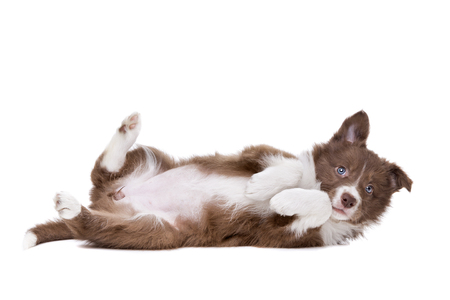 lying on side: Border Collie puppy dog playing silly in front of a white background Stock Photo