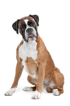 perro boxer: Boxer perro
