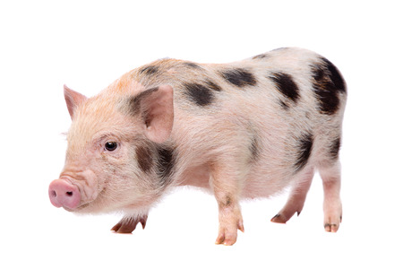 miniature pig Stock Photo