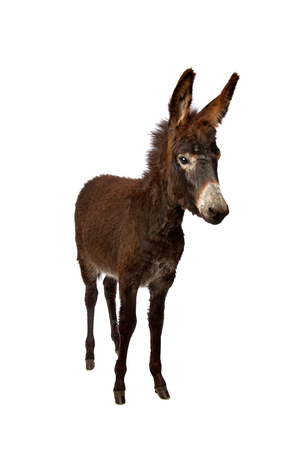 stubborn: young donkey standing in front of a white background