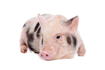 pampered: miniature pig Stock Photo