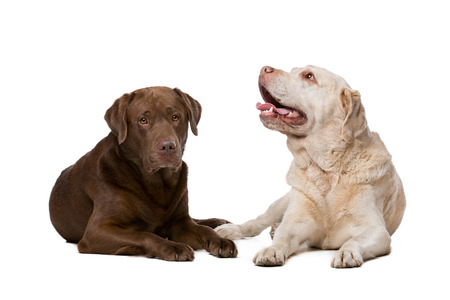 brown background: Two Labrador dogs lying in front of a white background